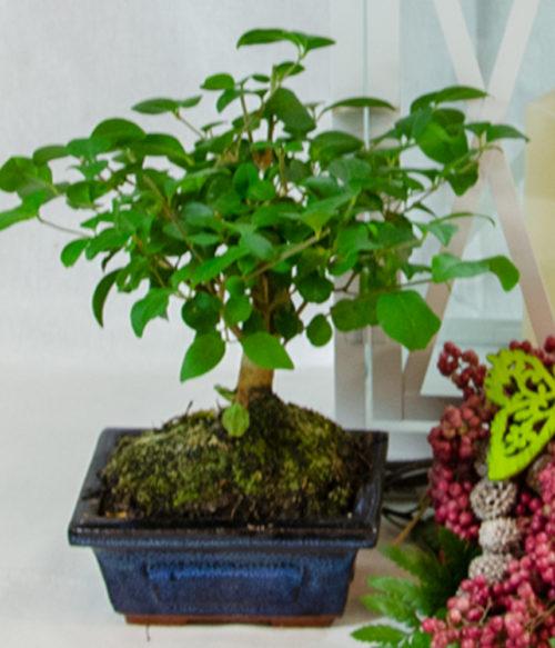 mini bonsai 2_
